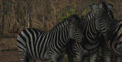 3 zebra, 2 adults, 1 foal standing standing, 1 walks off, close up