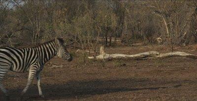 zebra foal, walking fast