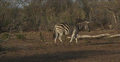 zebra mama and foal, walking