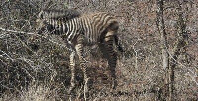 little zebra foal