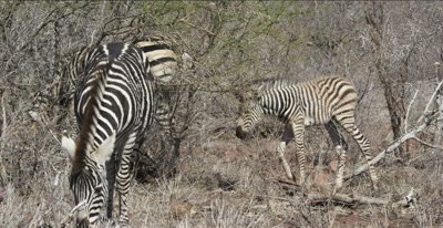 little zebra foal, mom, and friend, looking around, grazing
