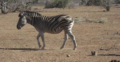 zebra mama and foal walking
