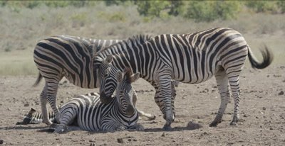 zebra, 2 adults and 2 foals standing