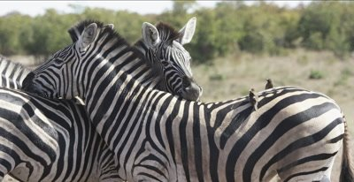 zebra and oxpeckers leaning on each other to protect from bugs