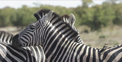 zebra and oxpeckers leaning on each other to protect from bugs, close