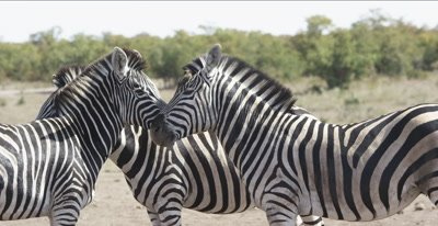 zebra and oxpeckers leaning on each other to protect from bugs with oxpeckers, close up
