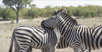 zebra and oxpeckers leaning on each other to protect from bugs with oxpecker