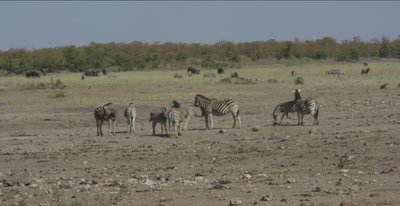 cape buffalo pan of a herd at waterhole with very little water, also zebra and elephants