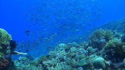 School of Jacks on a coral reef,Bigeye Trevallies