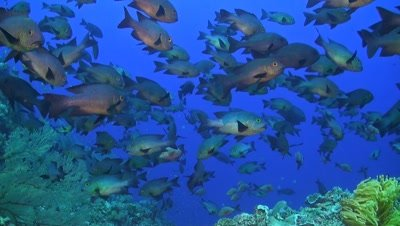 A school of midnight and humpback snapper on a coral reef