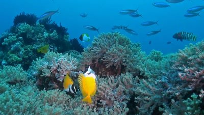 Foxface & Rabbitfish,found in shallow lagoons,have small,hare-like mouths,large dark eyes,and a peaceful temperament. They are colorful,and have well developed,venomous dorsal and anal fin spines. Use caution when handling these fish,as the spines will inflict a painful sting.