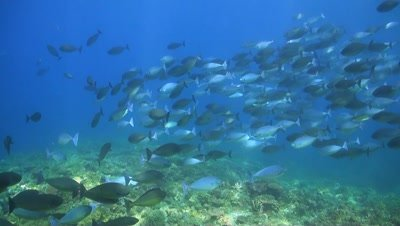 School of Unicornfishes on a coral reef