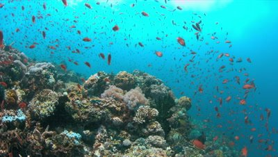 Colorful coral reef with healthy hard corals and plenty fish. 4k footage