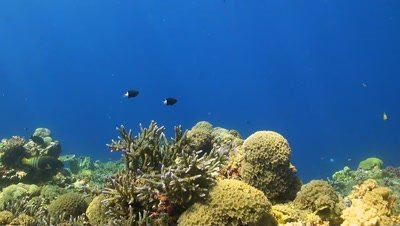 Colorful coral reef in Philippines with Snapper and Damselfishes