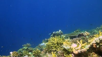 Colorful coral reef in Philippines with Damselfishes