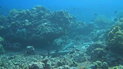 Four Whitetip reef sharks on a coral reef