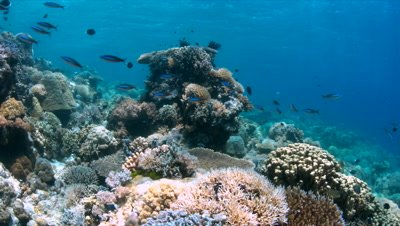 Coral reef in Philippines with plenty fish. Healthy, colorful corals and great visibility. Apo Reef is between Mindoro and Busuanga