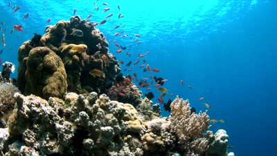 Colorful coral reef with Anthias