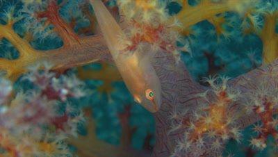 Soft Coral Ghostgoby - Pleurosicya boldinghi