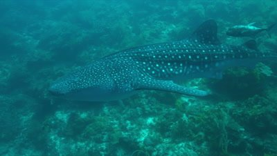 Whale shark swims on the edge of a coral reef