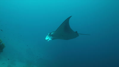 Manta ray swims on a coral reef