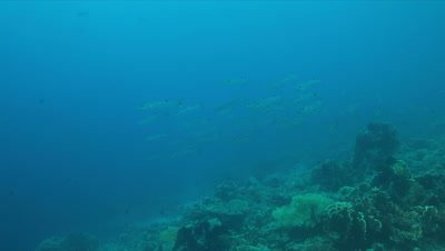 Blackfin Barracudas on a Coral reef