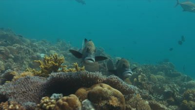 Harlequin sweetlips on a coral reef in Philippines
