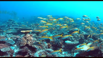 Colorful coral reef with Yellowfin Goatfishes. 4k footage