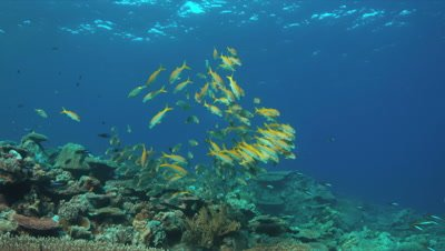 Colorful coral reef with Yellowfin Goatfishes  and Striped Large-eye Breams. 4k footage