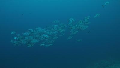 School of Black Snapper on Tubbataha Reef in Philippines. 4k footage