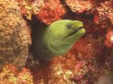 Green Moray Eel