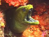 Green Moray Eel Peering Out