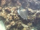 Spotted Eagle Ray On Wall