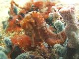 Seahorse Staring At Camera