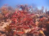 School Of Blackbar Soldierfish