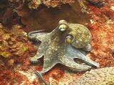 Common Octopus Sprawled Out