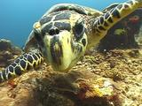 Hawksbill Turtle Very Close-Up