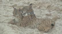 Adult Female  Iberian Lynx ( Fitted With Tracking Collar ) Resting On Sandy Track,With 2 Of Her Young Cubs Coming To Lay With Her, One Directly Under And Rubbing Her Chin