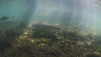 Huchen (Hucho Hucho) swims aggressively into the school of Rainbow Trout