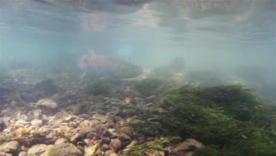 Huchen (Hucho Hucho) swims through shallow waters