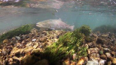 Huchen (Hucho Hucho) moving through a fast mountain river followed by a camera