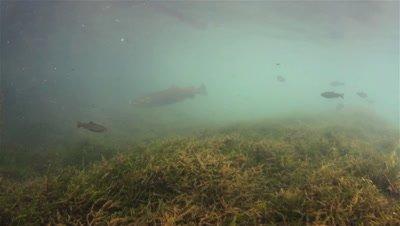 Two adult Huchen (Hucho Hucho) close up swimming in a small river