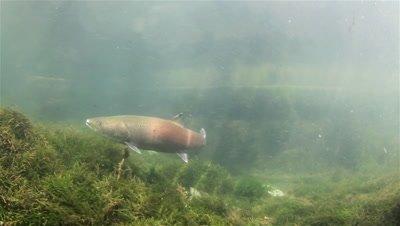 Adult Huchen (Hucho Hucho) close up swimming
