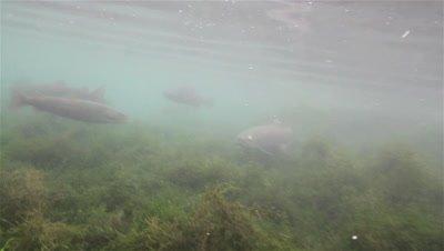 Adult Huchen (Hucho Hucho) with a hurt eye swims through a small river