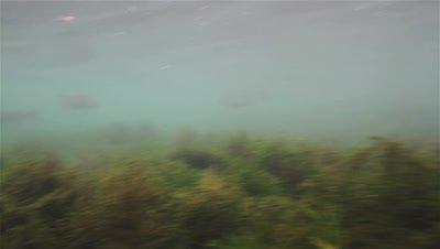 Adult Huchen (Hucho Hucho) swims aggressively towards the camera