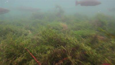 Several Huchen (Hucho Hucho) swimming in a small river,one swims close to the camera