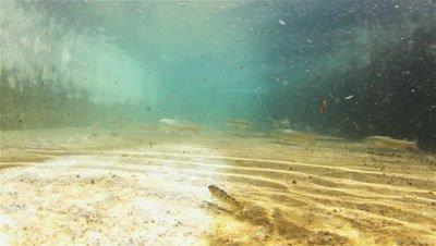 Huchen (Hucho Hucho) swimming through an outdoor pool