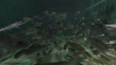 Huchen (Hucho Hucho) rapidly swim across the indoor pool