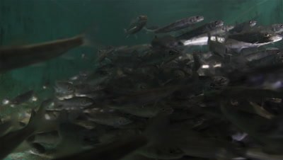 Hundreds of Huchen (Hucho Hucho) swimming in the pool