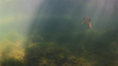 Two Rainbow Trout (Oncorhynchus Mykiss) in sun rays